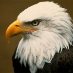 1. bald-eagle-head-300x206