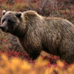 2. grizzly bear