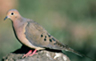 7-mourning-dove-o